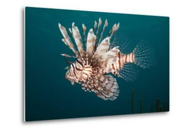 Lionfish-Michele Westmorland-Metal Print