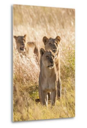African Lionesses-Michele Westmorland-Metal Print