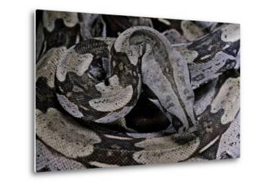 Boa Constrictor Constrictor-Paul Starosta-Metal Print