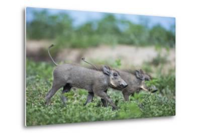Warthog Piglets, Botswana-Richard Du Toit-Metal Print