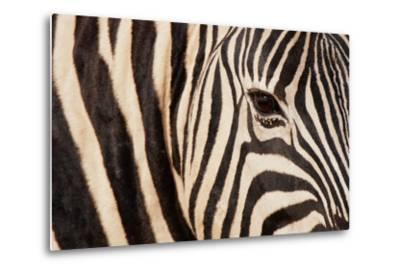 Burchell's Zebra (Equus Burchellii)-Sergio Pitamitz-Metal Print