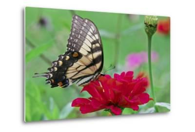 Swallowtail Butterfly Resting on Flower Bud-Gary Carter-Metal Print