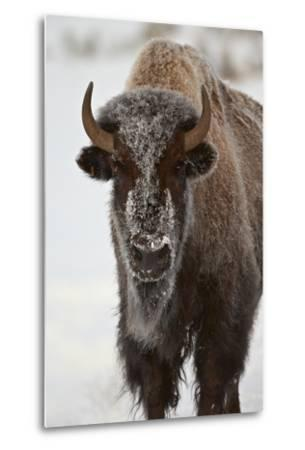 Bison (Bison Bison) Cow in the Winter-James Hager-Metal Print