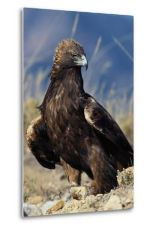 Golden Eagle Clutching Rabbit Kill-W^ Perry Conway-Metal Print