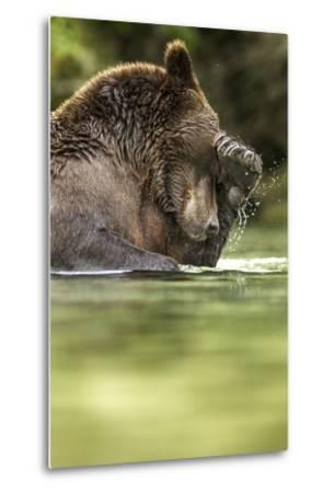 Brown Bear, Katmai National Park, Alaska--Metal Print