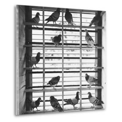 Young Pigeons in a Loft--Metal Print