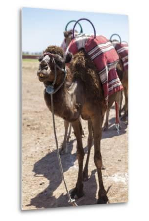 A Camel Just Outside of Marrakesh, Morocco, North Africa, Africa-Charlie Harding-Metal Print