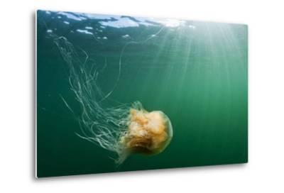 Lion's Mane Jellyfish, Alaska-Paul Souders-Metal Print