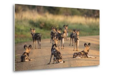 African Wild Dogs (Lycaon Pictus), Madikwe Game Reserve, North West Province, South Africa, Africa-Ann and Steve Toon-Metal Print