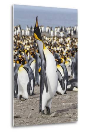 King Penguin (Aptenodytes Patagonicus) Breeding Colony at St. Andrews Bay-Michael Nolan-Metal Print
