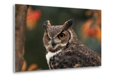 Great Horned Owl with Blurred Autumn Foliage-W^ Perry Conway-Metal Print