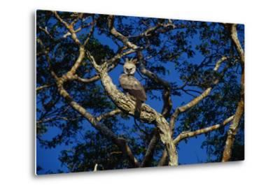 Young Harpy Eagle Perched in Tree-W^ Perry Conway-Metal Print