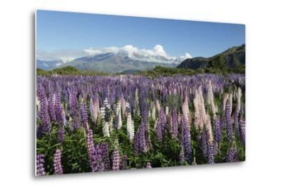 Field of Lupins Along Beacon Point Road, Wanaka, Otago, South Island, New Zealand, Pacific-Stuart Black-Metal Print