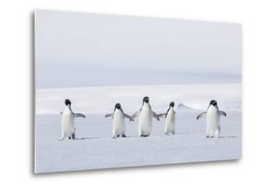 Adult Adelie Penguins (Pygoscelis Adeliae) Walking on First Year Sea Ice in Active Sound-Michael Nolan-Metal Print