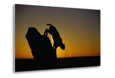 Bobcat Silhouette at Sunrise-W^ Perry Conway-Metal Print