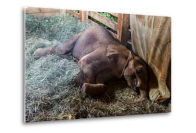 An Orphaned African Elephant Calf Sleeping in a Bed of Straw in Wildlife Shelter Barn-Jason Edwards-Metal Print