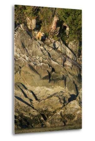A Spirit or Kermode Bear on Rocks Above the Inter-Tidal Zone-Jed Weingarten-Metal Print