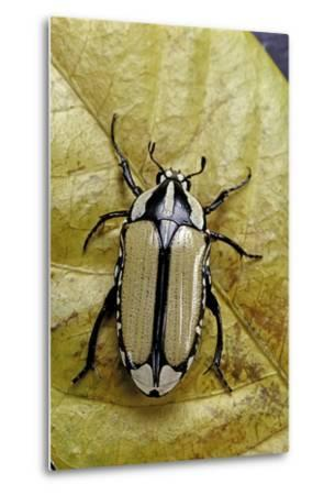 Gnathocera Bilineata (Flower Beetle)-Paul Starosta-Metal Print