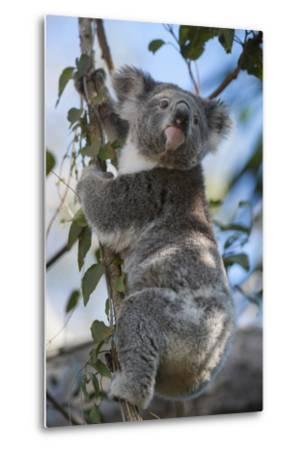 A Federally Threatened Koala Rests in a Tree-Joel Sartore-Metal Print