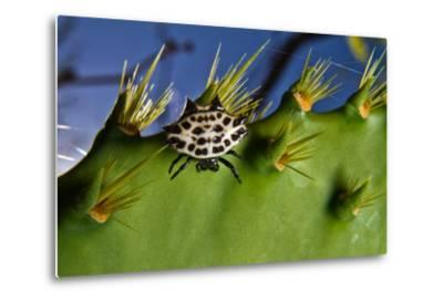 A Spinybacked Black and White Orb Weaver Spider on the Thorns of a Prickly Pear Cactus-Karine Aigner-Metal Print