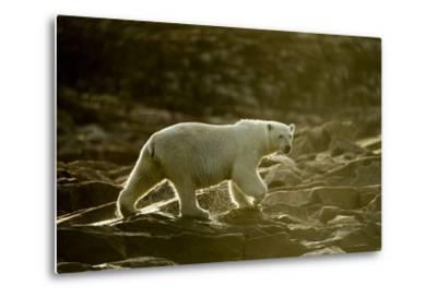 Polar Bear Walking along Hudson Bay, Nunavut, Canada-Paul Souders-Metal Print