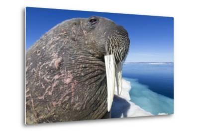 Walrus on Iceberg, Hudson Bay, Nunavut, Canada-Paul Souders-Metal Print