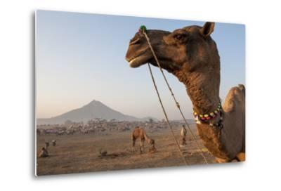 Portrait of a Camel Adorned with Colorful Beads in India-Jonathan Kingston-Metal Print
