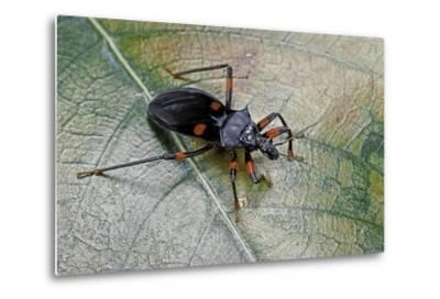 Platymeris Rhadamanthus (Red Spot Assassin Bug)-Paul Starosta-Metal Print