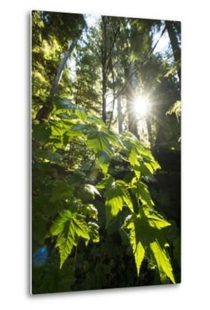 Large Leaves of a Devil's Club, Oplopanax Horridus, Growing in a Temperate Rainforest-Jonathan Kingston-Metal Print
