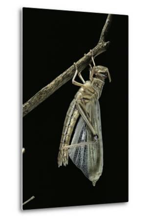 Schistocerca Gregaria (Desert Locust) - Emerging-Paul Starosta-Metal Print