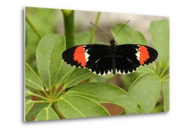 A Heliconius Butterfly Resting on a Plant-Darlyne A^ Murawski-Metal Print