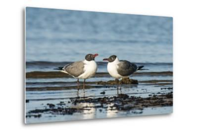 View of Laughing Gull Standing in Water-Gary Carter-Metal Print