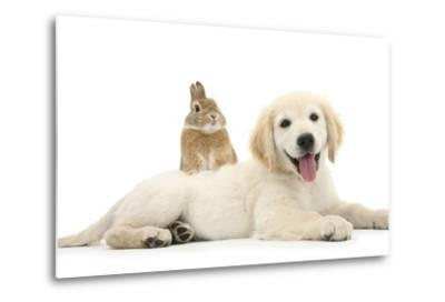 Netherland Cross Rabbit, Looking over the Back of Golden Retriever Dog Puppy, Oscar, 3 Months-Mark Taylor-Metal Print