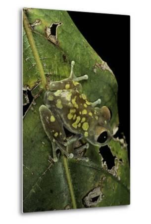 Leptopelis Uluguruensis (Uluguru Forest Treefrog)-Paul Starosta-Metal Print