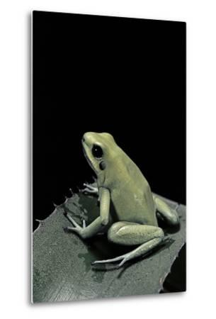 Phyllobates Terribilis F. Mint (Golden Poison Frog)-Paul Starosta-Metal Print