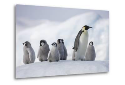 Emperor Penguins in Antarctica--Metal Print