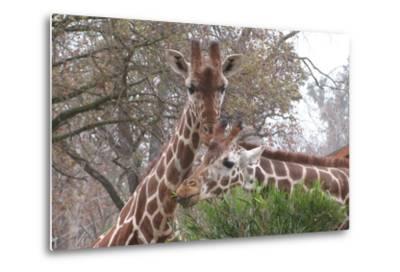Giraffe Eating-Lantern Press-Metal Print