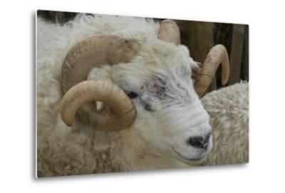 Dartmoor Sheep-James Emmerson-Metal Print
