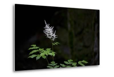 A White Wildflower in Bloom Against a Dark Background-Ulla Lohmann-Metal Print