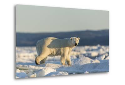 Polar Bear on Sea Ice, Hudson Bay, Nunavut, Canada-Paul Souders-Metal Print