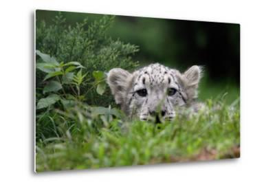 Leopard Cub-Lantern Press-Metal Print