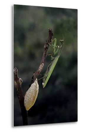 Mantis Religiosa (Praying Mantis) - Laying-Paul Starosta-Metal Print