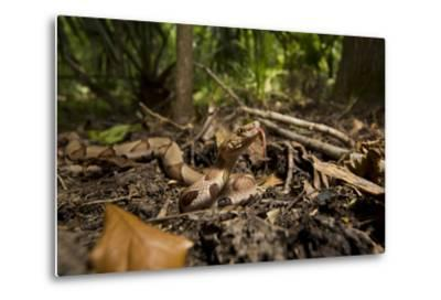 A Copperhead Snake Laying in Leaf Matter on the Forest Floor, Smelling with its Tongue-Karine Aigner-Metal Print