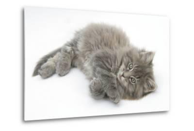Maine Coon Kitten, 8 Weeks, Lying on its Back, Looking Up in a Playful Manner-Mark Taylor-Metal Print