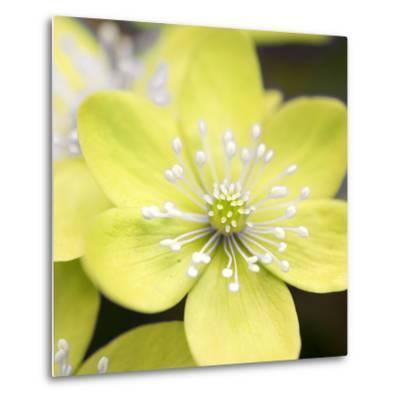 Yellow Blossom--Metal Print