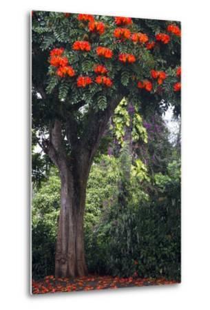 African Tulip Tree Growing on Oahu Island-Terry Eggers-Metal Print