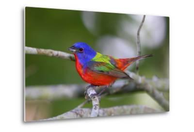 A Male Eastern Painted Bunting, Passerina Ciris, in Spectacular Breeding Color-George Grall-Metal Print