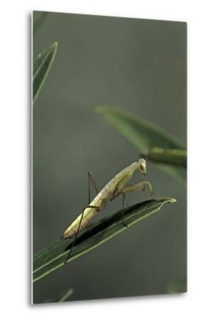 Mantis Religiosa (Praying Mantis) - Larva-Paul Starosta-Metal Print