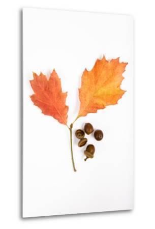 Oak Leaves and Acorns-Frank Lukasseck-Metal Print