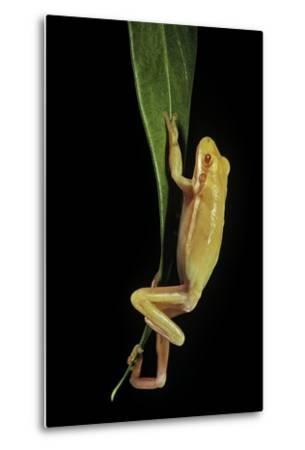 Hyla Cinerea Albino (American Green Tree Frog)-Paul Starosta-Metal Print
